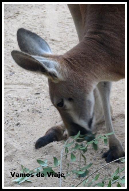 canguros en sydney