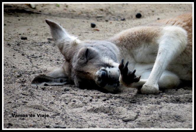 canguros en taronga zoo