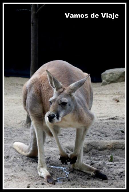 canguros